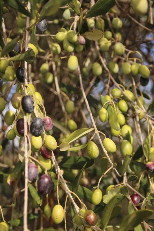 olive 2016 primo piano, olio toscano