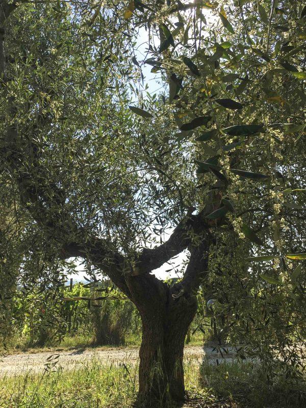 mignola olivo
